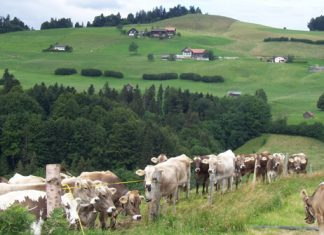 Swiss farm- Brown Swiss Association